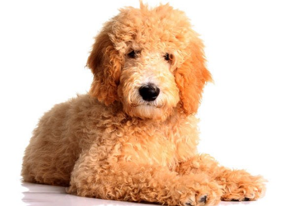 Mini Goldendoodle Puppies for Sale in PA, California, NY & Others 3
