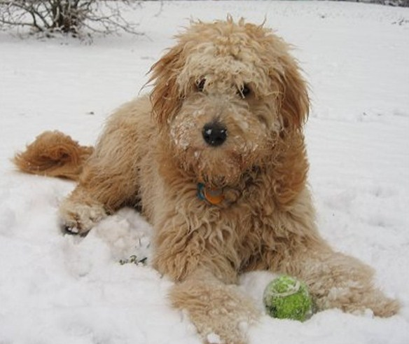 Mini Goldendoodle Rescue | Mini Goldendoodle