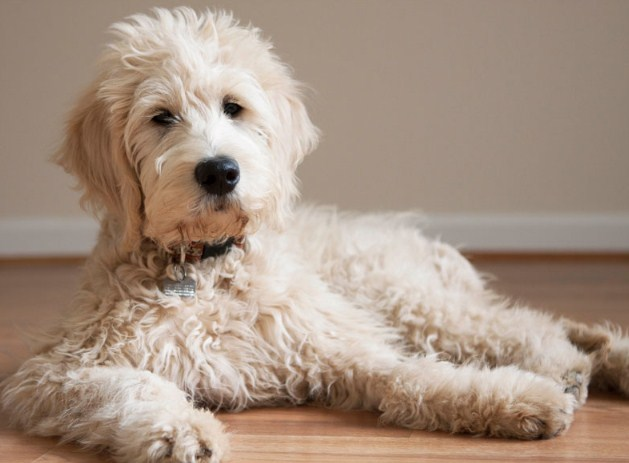 Mini Goldendoodle Rescue Mini Goldendoodle