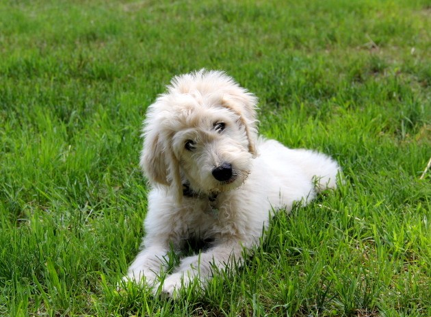 Mini Goldendoodle Size 1
