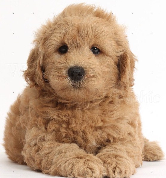 Mini Goldendoodle Size 2