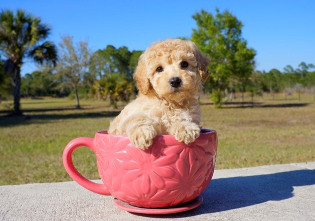 Mini Goldendoodle Tampa 1