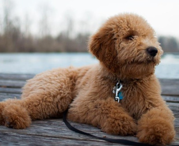 Mini Goldendoodle Utah 2