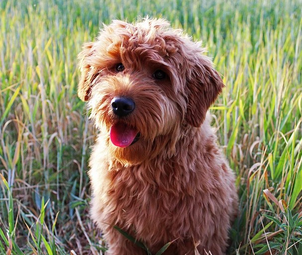 Mini Goldendoodle Utah 3
