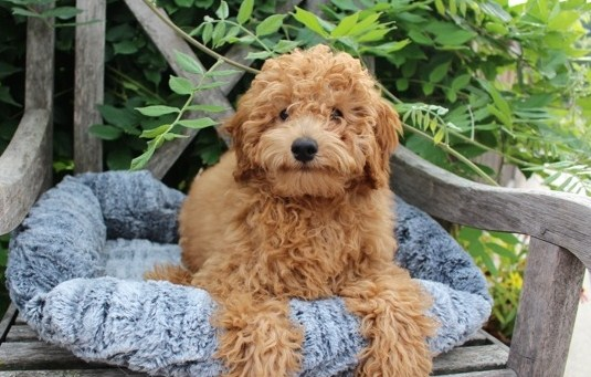 Mini Goldendoodle Wisconsin Mini Goldendoodle