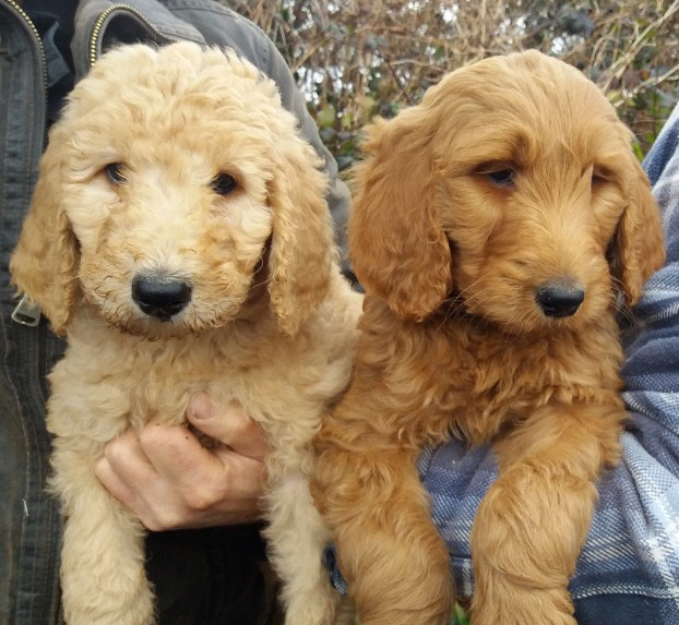 Mini Goldendoodle vs Goldendoodle 2