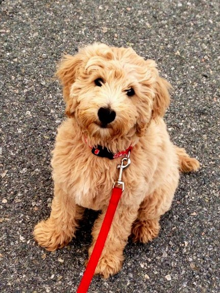 Mini Goldendoodles Washington Mini Goldendoodle