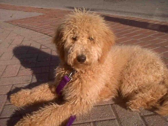 Red Mini Goldendoodle 1