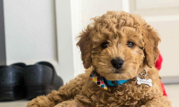 Mini Goldendoodles For Sale Indiana Mini Goldendoodle