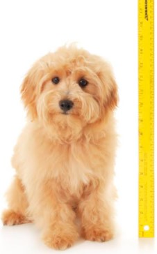 Extra Small English Goldendoodle1-
