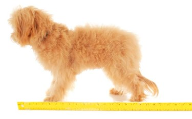 Extra Small English Goldendoodle1