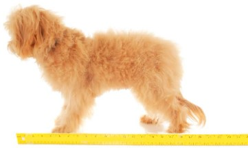 Extra Small English Goldendoodle2-