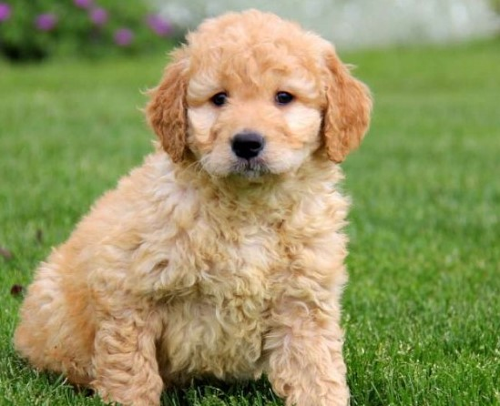 How to Find English Teddybear Goldendoodles for Sale Near Me