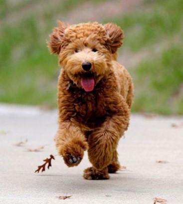 Teddy Bear Goldendoodles
