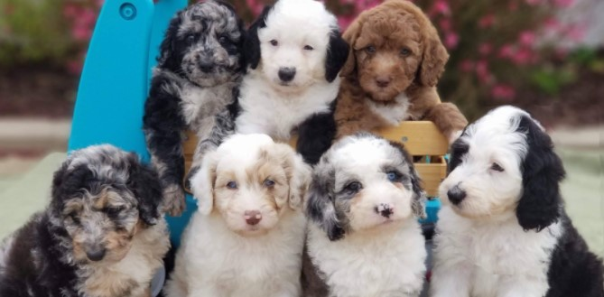Aussiedoodle Puppies for Sale Texas