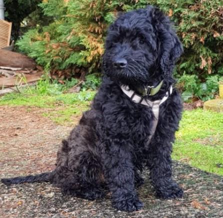 Black Goldendoodle Size