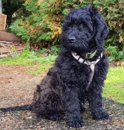 Exercise for Black Goldendoodle