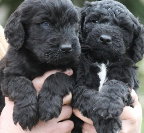 Some Websites Which Sells Black Goldendoodles