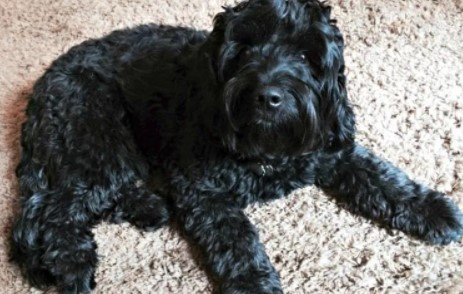 The Temperament of Black Goldendoodle