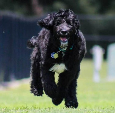 Training and Exercising for Black Goldendoodle